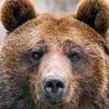 BearBazooka